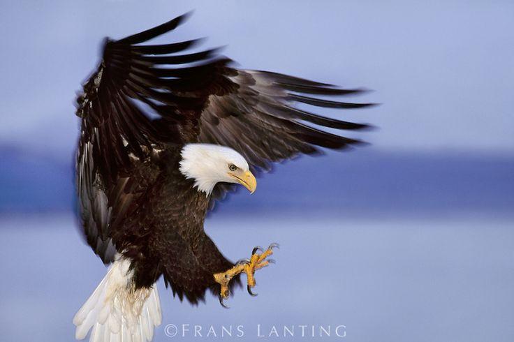 8 best eagle images on Pinterest | Bald eagle, Eagles and ...