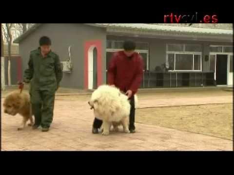 Mastín tibetano, perro de moda en China