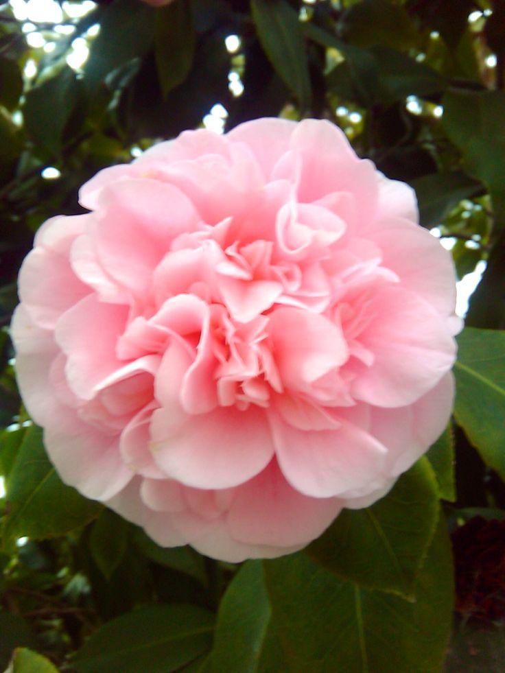 507 best images about camellias on pinterest beautiful. Black Bedroom Furniture Sets. Home Design Ideas