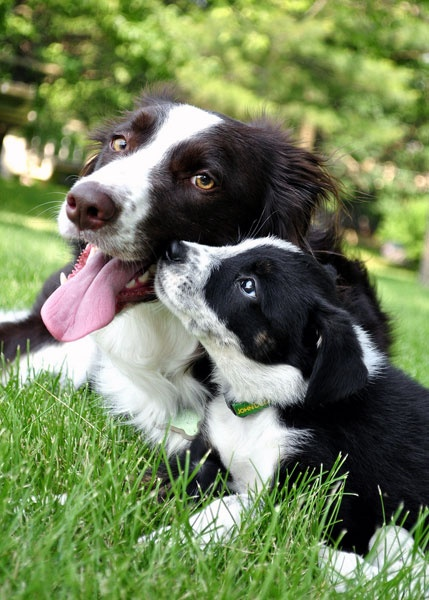 Border Collie Love! Kisses to momma ....