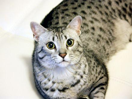 Gatos » Mau Egípcio - PetMag