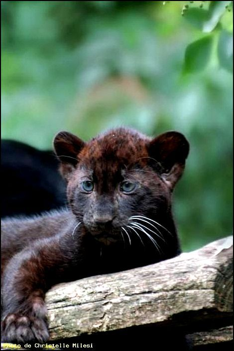 25 Best Ideas About Panther Cub On Pinterest Baby
