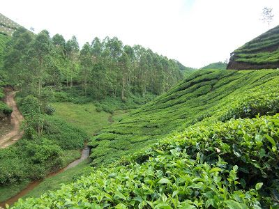 Munnar, Kerala, India. Tea plantations in the hills.    http://trekdigest.blogspot.ca/2010/01/tea-plantations-munnar-kerala.html
