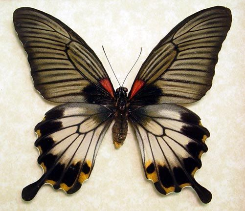 Swallowtail Butterfly - Papilio Lowi Zephyria [Female];  Origin: Philippines