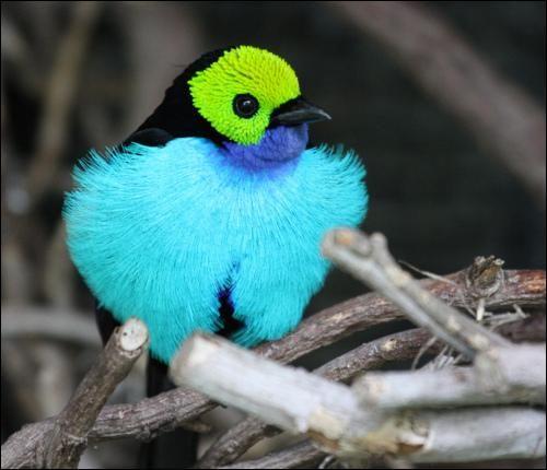 Encore un oiseau d'un bleu époustouflant, le tangara paradis. Quel est ce bleu qu'on pourrait croire des mers du sud ?