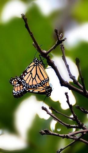 Mating Monarchs