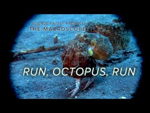 Marine Expert Explains Why and How Certain Species of Octopus Can Run Away From Predators