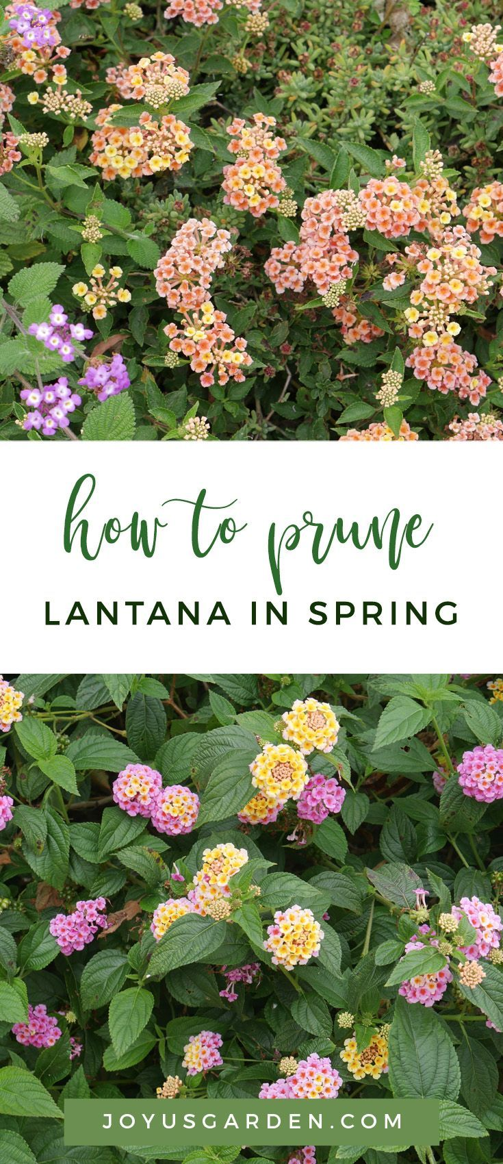 How To Prune 2 Different Types Of Lantana In Spring Joy Us Garden In 2020 Lantana Ground Cover Plants Arizona Gardening