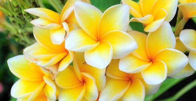 4 Peluang Bisnis Bunga Kamboja Beserta Tipsnya