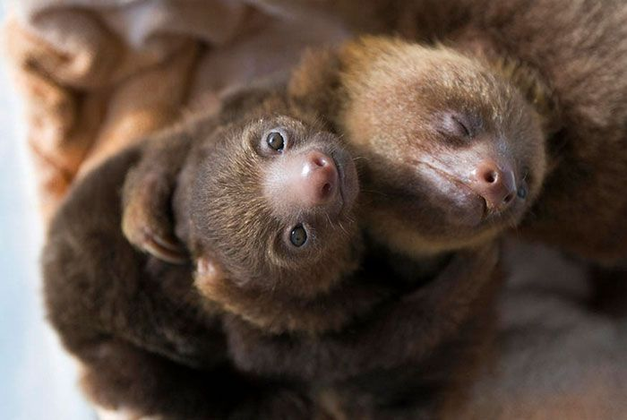 19) It took these sloths about an hour to get this hug going.