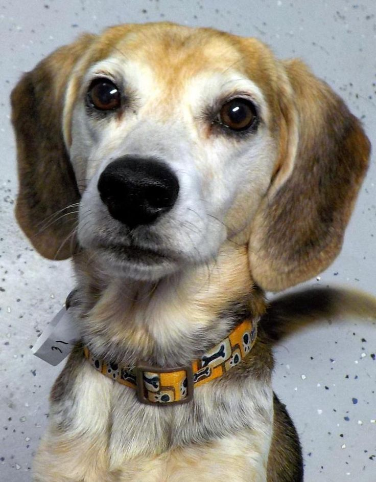 Meet 31 Betsy, an adoptable Beagle looking for a forever home. If you're looking for a new pet to adopt or want information on how to get involved with adoptable pets, Petfinder.com is a great resource.