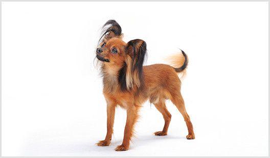 russischer-toy-terrier-russkiy-toy.jpg (528×309)
