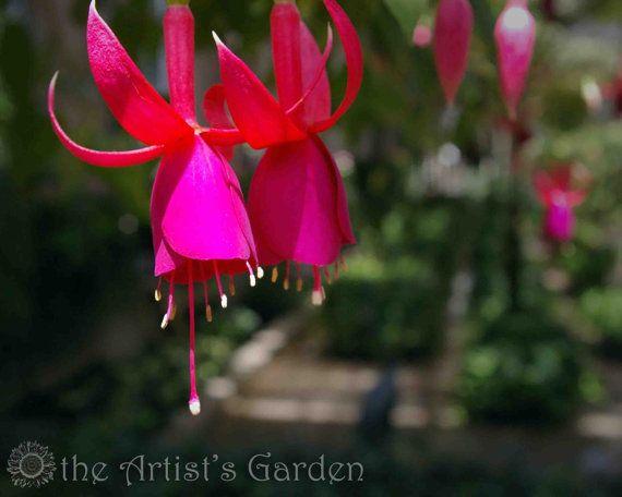 Pink Flower Photo Hanging Bells Tropical Flowers In Greenhouse 8 X 10 Fine Art Nature Photography Photos And