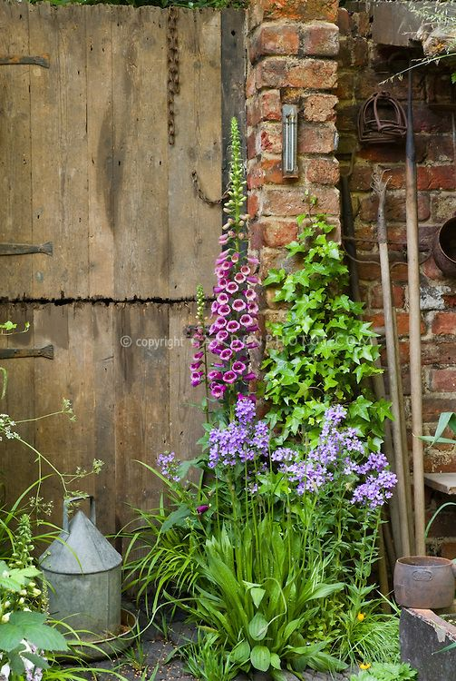 Digitalis and phlox, climbing Hedera vine, with rustic garden tools, farm barn door, thermometer, chicken water feeder, antiques, spring garden scene with charm, May or June
