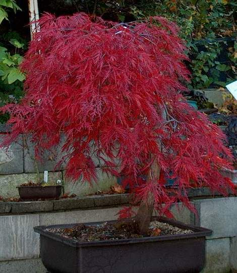 Crimson queen japanese maple green thumb pinterest - Decorative trees with red leaves amazing contrasts ...