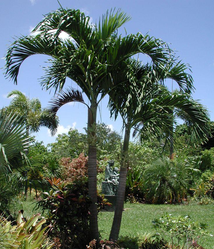 разновидность пальмы картинки добыча хищника