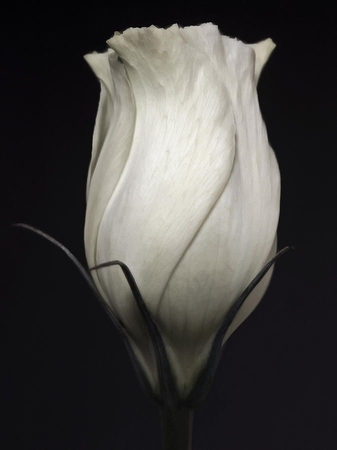 ~~White Rose - Black And White Close Up by Nadja Drieling~~