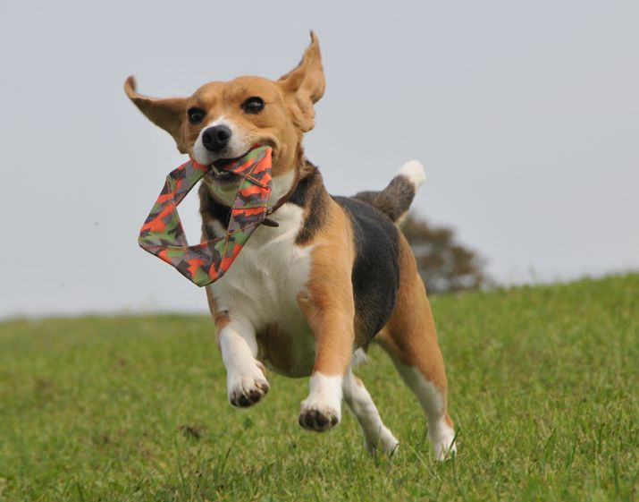 Major Dog Toys  A great alternative to larger Frisbees, the Flying Felix folds easily to fit into pockets and flies well. With an integrated squeaker and easy to catch design your clients dogs will love it.