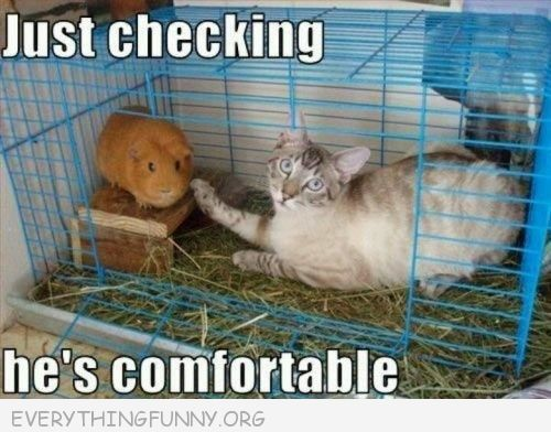 #cat in #guinea pig cage just checking to see if he's comfortable