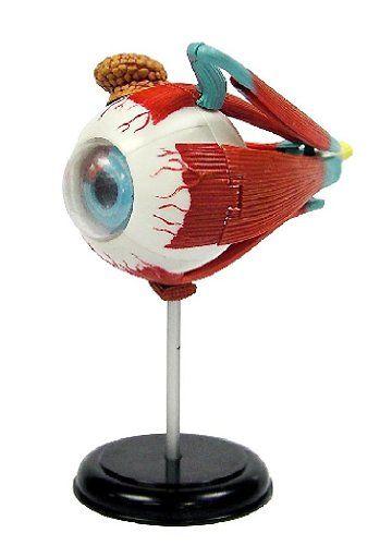 Elenco  3D DIY Eyeball Anatomy With CD -- Want additional info? Click on the image.