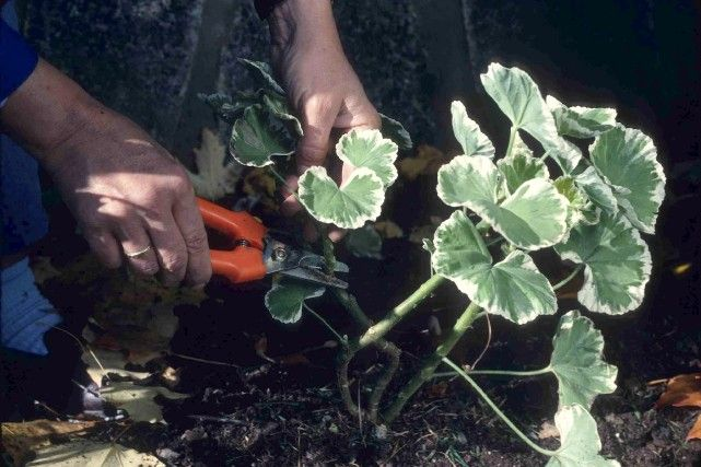 17 meilleures id es propos de fleurs annuelles sur for Plante tropicale exterieur