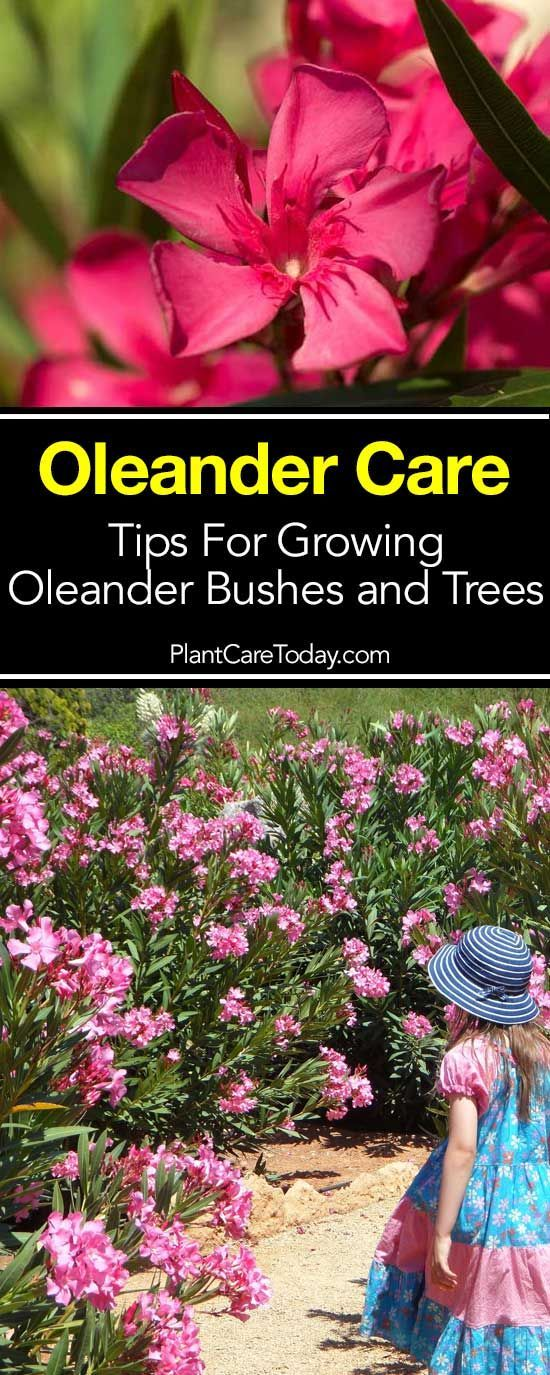Oleander Care: Tips For Growing Oleander Bushes and Trees