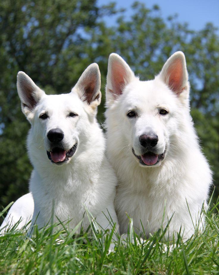 Best German Shepherd Black Dogs - Black Dogs - YouTube