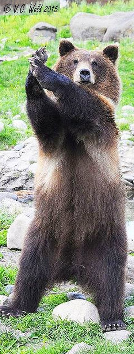 APPLAUSE   #grizzly brown bear cub applaus #photo von V. C. Wald on flickr.com