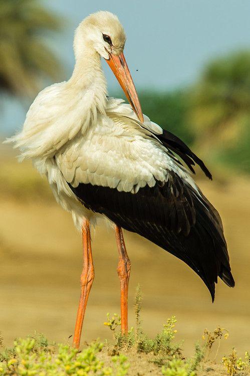 The White Stork (Coconia ciconia) found throughout Europe.