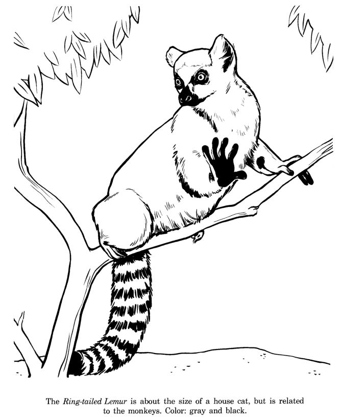 ring tailed lemur animal identification drawing coloring page free printable ring tailed lemur coloring pages featuring wild animals