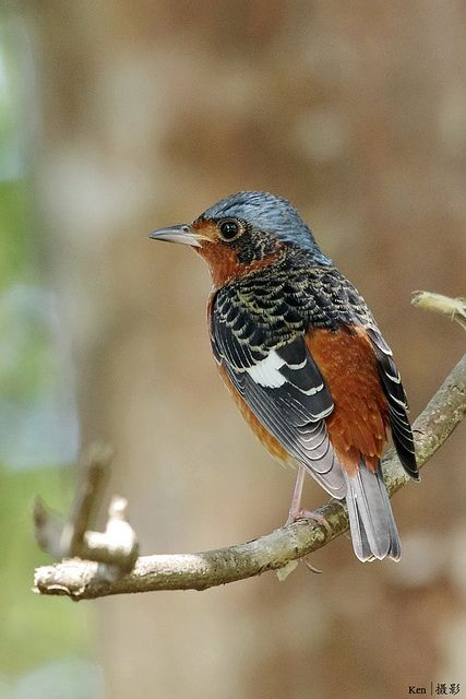 White-throated Rock Thrush, Monticola gularis: Cambodia/ China/ Hong Kong/ Japan/ Laos/ Vietnam/ N Korea/ S Korea/ Malaysia/ Myanmar/ Russia/ Singapore/ Thailand