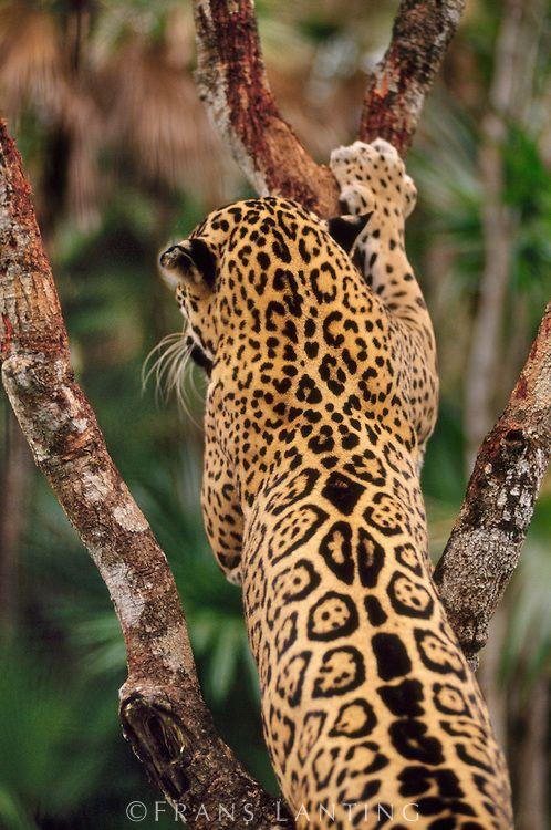 Small Wild Animals: Jaguar Marking Tree, Panthera Onca, Belize