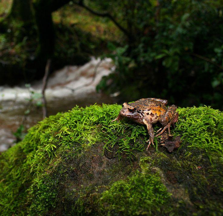 Rana de hojarasca austral (Eupsophus calcaratus). Fotografía: Daniel Gomez-Lobo Fehling