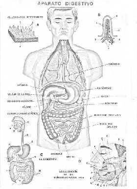 O Sistema Digestivo - O corpo humano