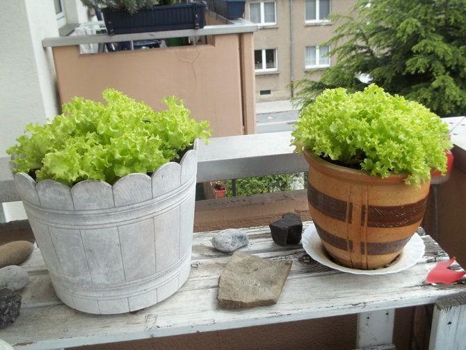 Da haben wir den Salat: auf dem Balkon! Egal ob Sie Pflänzchen kaufen oder aus Samen selber ziehen: Salat auf dem Balkon zu ziehen ist problemlos möglich. Viele Salatsorten wachsen sogar im Blumenkasten auf der Fensterbank. Quelle: utopia.de