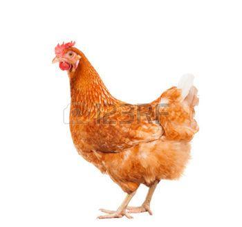 Les 25 meilleures id es concernant poulets d 39 levage sur for Prix d une poule rousse