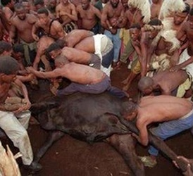 In the home of the Zulu, the Festival of Fresh Fruits  begins in December. The highlight is the ritualistic killing of a  bull, by 40 young Zulu men, with nothing but their bare hands.    Over 40 minutes, the bull has his tongue pulled and torn out, his eyes gouged, his genitals twisted and tied in a knot, sand shoved down his throat and his head is painfully wrenched around by the horns in an effort to break his neck. The men then stomp and trample on the dying bull until he is dead.