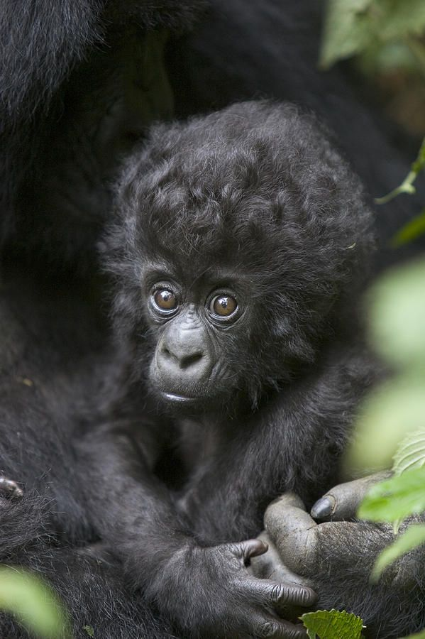 Greatly endangered infant Mountain Gorilla, Rwanda.  There are only about 800 in the wild.