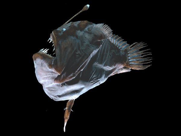 Melanocetus hapt naar alles wat maar in de buurt komt van het lokaas...zijn spriet met lampje