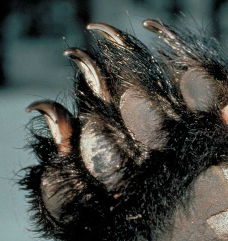 North American Bear Center - How dangerous are black bears?