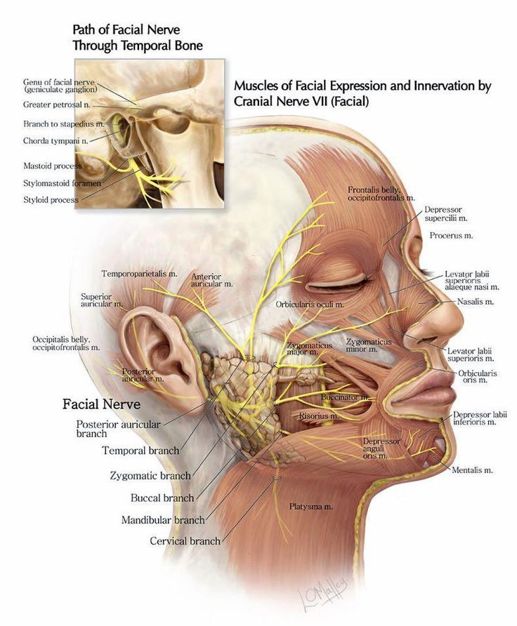 The Path of the Facial Nerve Through the Temporal Bone and the Muscles of Facial Expression and Innervation by Cranial Nerve VII (Facial Nerve)