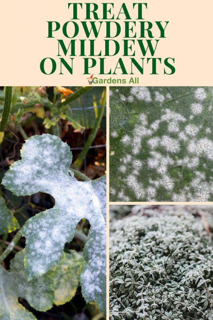 Organic Remedies To Treat Powdery Mildew Includes Video And Recipes Powdery Mildew Powdery Mildew Treatment Organic Vegetable Garden