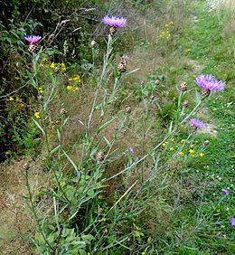 Chrpa, Chrpa luční, je vysoká, vytrvalá, modře kvetoucí rostlina.
