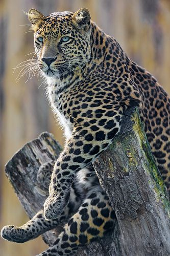 Leopard sitting quite up!