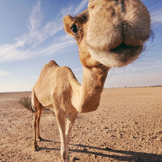 25+ best ideas about Funny camels on Pinterest | Funny ...