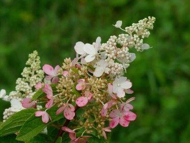 Hydrangea Paniculata 'Pinky Winky' - Marcel Lavallière Paysagiste