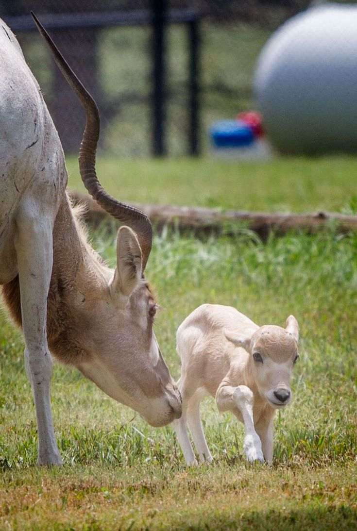 """The Addax is classified as """"Critically Endangered"""" on the"""