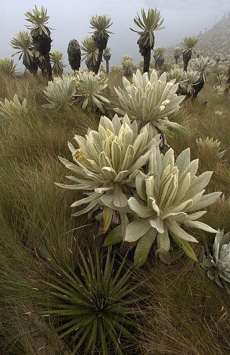 Paramo Flower Espeletia Pycnophylla Print By Pete Oxford