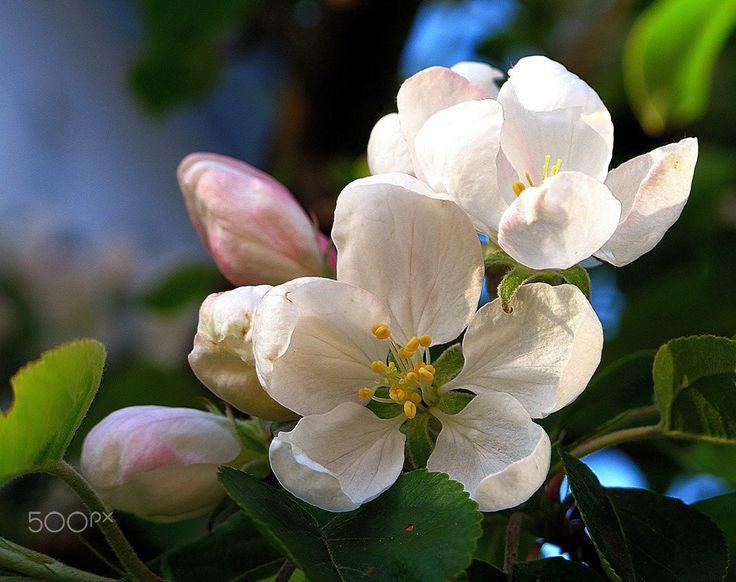 My Memory Of Appel Flowers. - Spring/Summer In Sweden 2015
