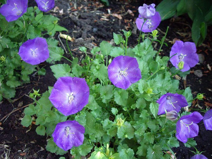 Campânulas púrpuras